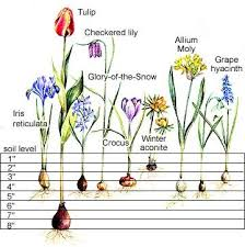 Step By Step Spring Bulb Planting Guide Planting Bulbs