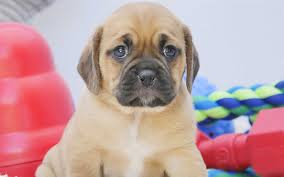 puggle puppies wallpaper. Fine Wallpaper Download Wallpapers 4k Puggle Cute Dog Pets Puppy Animals To Puggle Puppies Wallpaper D