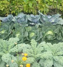 Kale Companion Planting Chart Companion Planting West Coast Seeds