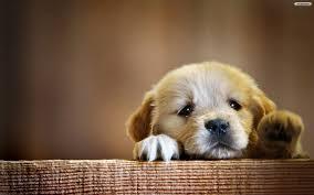 Image result for sad golden puppy