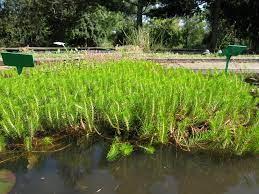 myriophyllium propinquum wallis creek