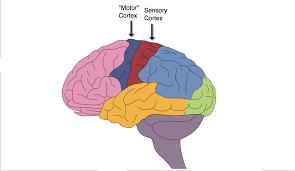 motor cortex and sensory cortex