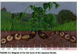 japanese beetles life cycle alan muskat articles going ninja on japanese beetles