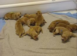 golden retriever newborn puppies. Exellent Retriever Intended Golden Retriever Newborn Puppies H