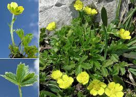 Potentilla brauneana Hoppe - Portale sulla flora del Parco Naturale ...