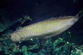 Silver Arowana Care Guide Tank Size Diet And More