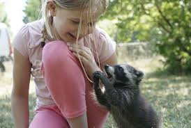 Baby Raccoon Age Chart The Best Diet For A Pet Raccoon