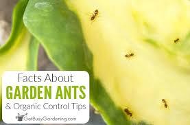 ants in a garden organic control