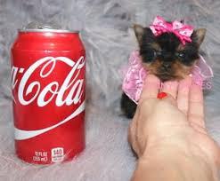 xtra tiny micro teacup baby doll face yorkie