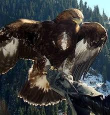 Беркут орел беркут aquila chrysaetos ареал беркута среда  Орел беркут aquila chrysaetos фото птицы фотография