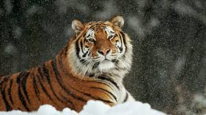 siberian tiger wallpaper desktop.  Desktop Siberian Tiger Wallpaper   To Desktop A
