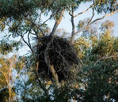 eagles nest size sydney sea eagles nest