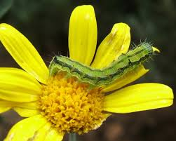 african bollworm larva on flower pic a15