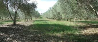 sandy oaks olive orchard