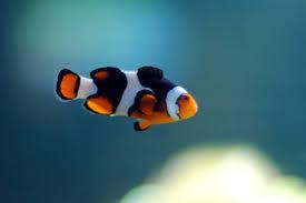 black and orange clown fish. Delighful Clown A Very Lost Fish  To Black And Orange Clown T