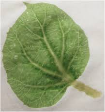 remove the taped leaf