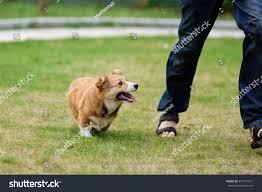 Pembroke Welsh Corgi Dog Running ...