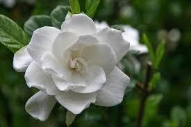 gardenia jasminoides miami supreme cape jasmine miami supreme miami supreme cape jasmine