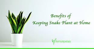 benefits of keeping snake plant at