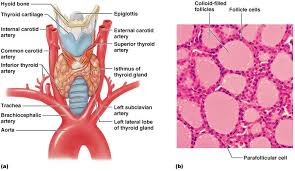 Thyroid Anatomy Endocrine System Exam 1 Anatomy Of The Thyroid Gland