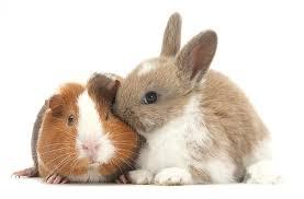 rabbits guinea pigs
