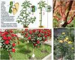 Как самой сделать штамбовую розу