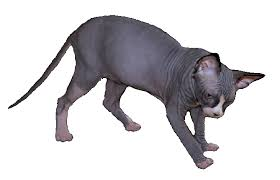 Sphynx Cat Color Chart Color Pattern Of Sphynx Cats