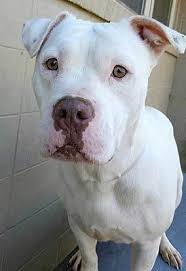 american bulldog pitbull mix. Contemporary Bulldog Pitbull American Bulldog Mix Dog And American Bulldog Pitbull Mix C