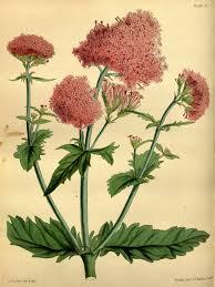 Centranthus macrosiphon - Wikipedia, la enciclopedia libre