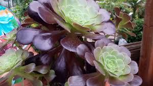 Consigli pratici su come coltivare l'aeonium arboreum rubrum ...