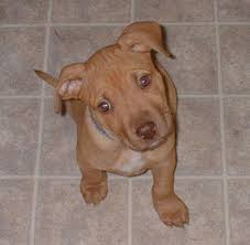 brown terrier mix puppies. Interesting Puppies Puppy American Pit Bull Terrier Throughout Brown Mix Puppies