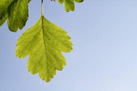 Image result for cockspur hawthorn tree leaves