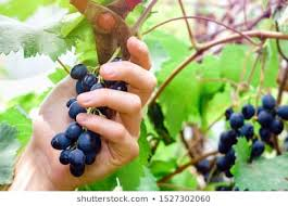 1000 Grape Pruning Stock Images Photos Vectors