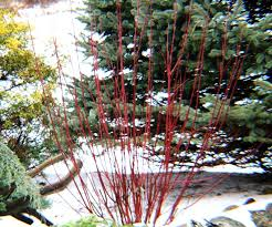 red twig dogwood cornus sericea
