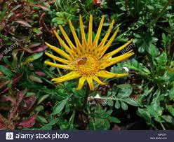 jarbera flowers in empress garden pune maharashtra india