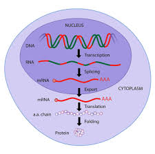 Protein Synthesis Flow Chart Key Protein Synthesis