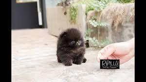 black pomeranian teddy bear cut. Perfect Bear True Teacup Black Pomeranian Teddy Bear Kasey  Rolly Puppies And Bear Cut M