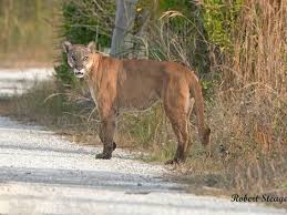 Visit /r/hockey on game days and support your panthers in the game day threads! Uf And Florida Fish And Wildlife Conservation To Help Endangered Florida Panthers The Independent Florida Alligator