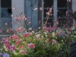 gaura lindheimeri flower border in front of cottage