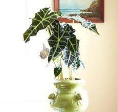 large leaf house plants mask plant round indoor pictures big leaf house plants