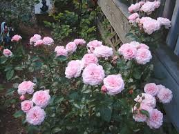 Octavia Hill: Austin-like cup blooms, pink, disease free | Climbing roses,  Rose, Pink roses