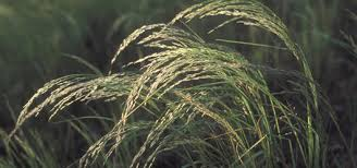 Image result for teff