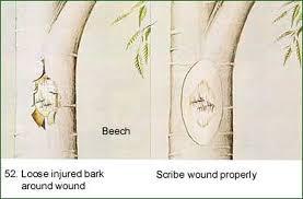 tree bark repair methods. Fine Bark Intended Tree Bark Repair Methods F