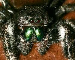 Answers to questions about Spiders at Spiderzrule - the best site in the  world about spiders, redbacks, huntsmen, garden orb weaver, funnel web, ...