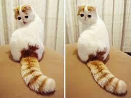 exotic shorthair orange and white. Wonderful Exotic Exotic Shorthair To Orange And White A