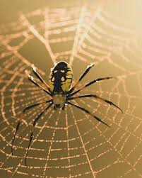 black and yellow garden spider low poly 3d model