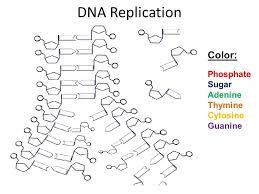 Dna Replication Coloring Worksheet Answer Key Printable ...