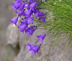 Justin's Bellflower (Campanula justiniana)