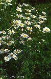 Den virtuella floran: Tripleurospermum perforatum (Mérat) Laínz ...