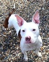 bull terrier pitbull mix. Wonderful Pitbull Bull Terrier Pitbull Mix Pit Dogs A Petfinder Photo Sampler Animal  Farm Foundation With L